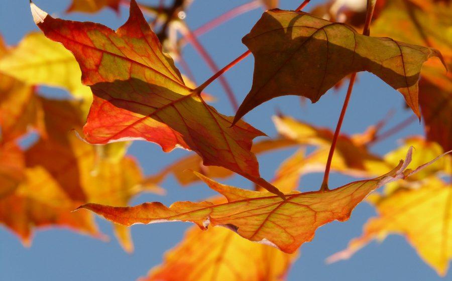 farbenfroher Herbstbegleiter und Herausforderung für Grundstücksbesitzer